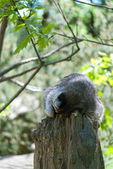 Sleeping Raccoon — Stock Photo