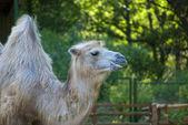 Camel on green background — Zdjęcie stockowe