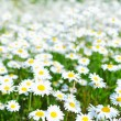 Stock Photo: Field with white daisies under sunny sky