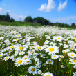 Field with white daisies under sunny sky — Stock Photo