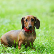 Stock Photo: Dachshund