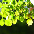 Tree foliage and sun — Stock Photo