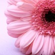 Gerbera — Stock Photo #10833933