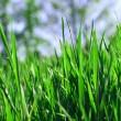 Green grass fild — Stock Photo