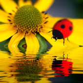 Ladybug reflect — Stock Photo