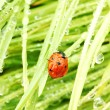 Royalty-Free Stock Photo: Ladybug on grass
