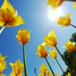 Yellow tulips against the sky — Stock Photo