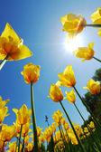 对天空的黄色郁金香 — 图库照片