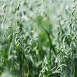 Spikelets of oats — Stock Photo