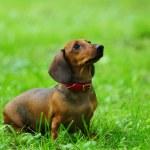 Dachshund on grass — Stock Photo
