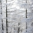 Forest in snow — Photo