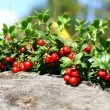Cowberry — Stock Photo #11112727