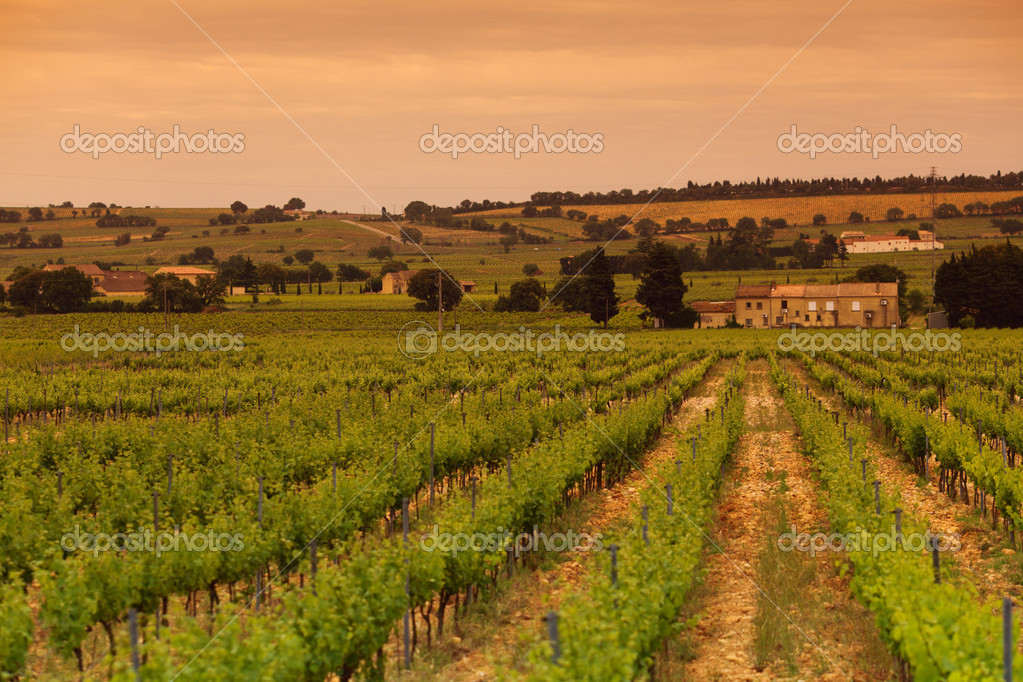 Orange Sky over Green Vineyard — Stock Photo #11288026