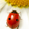 Ladybug on camomile — Stock Photo