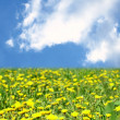Dandelion green field — Stock Photo