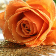 Orange rose — Stockfoto