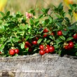 Cowberry — Stock Photo #11332997