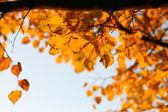 Altın yaprağı — Stok fotoğraf