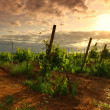 Vineyard in france on sunrise — Foto Stock