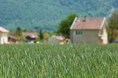 Campo de trigo de primavera — Foto de Stock