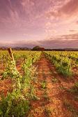 关于日出的葡萄园在法国 — 图库照片