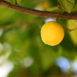 Lemon close up — Stock Photo #11578843