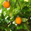 Branch orange tree fruits green leaves - Foto Stock