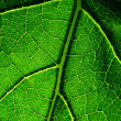 Stock Photo: Green leaf