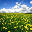 Dandelion landscape — Stock Photo