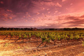 Amazing Vineyard Sunset in france — 图库照片