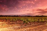 Increíble atardecer viñedo en francia — Foto de Stock