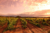 Vineyard in france on sunrise — Stok fotoğraf