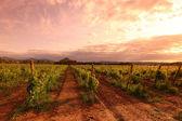 Vineyard in france on sunrise — Stock Photo