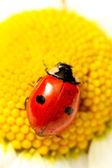 Uğur böceği üzerinde papatya — Stok fotoğraf