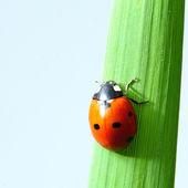 Uğur böceği çimenlerin üzerinde — Stok fotoğraf