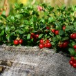 Cowberry — Stock Photo #11598303