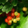 Isolated red currant and leaf — Stock Photo