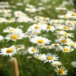 Stock Photo: Field with white daisies
