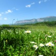 Beautiful camomile in Alps swiss - Stock Photo