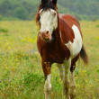 Horse on summer meadow — Stock Photo #11820975