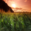 Stock Photo: Summer field of wheat