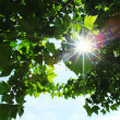 Green leaves and sun — Stock Photo
