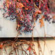 Dry grape on wall - Foto Stock