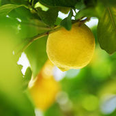 Lemon close up — Stock Photo
