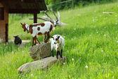 Goat on green grass — Stock Photo