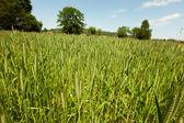 ранней весной пшеничное поле — Стоковое фото