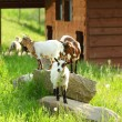 Goat on green grass — Stock Photo