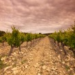 Orange Sky over Green Vineyard - 图库照片