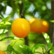 Orange on a branch - Stock Photo