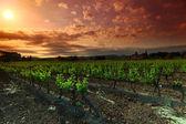 Amazing Vineyard Sunset in france — Stock Photo